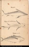 [top] Requin. [center] Requin vu Sur le ventre. [bottom] Thon Femelle