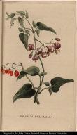 Solanum Dulcamara.