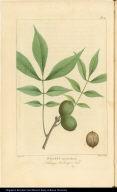 Juglans myristicaformis Nutmeg Hickery Nut.