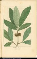 Quercus imbricaria. Laurel Oak