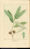Quercus cinerea Upland Willow Oak