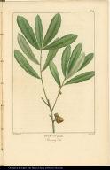 Quercus pumila. Running Oak.