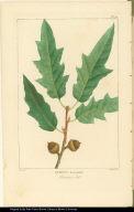 Quercus heterophilla. Bartram's Oak