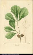 Quercus aquatica. Water Oak.