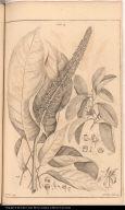 [Sciodaphyllum and Achras]