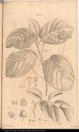 [Sapindus and Scarlet-seed tree]