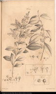 [Ellisia, Gerascanthus, Varronia, and Guidonia]