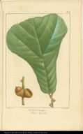 Quercus ferruginea. Black Jack Oak.