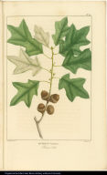 Quercus banisteri. Bear's Oak.
