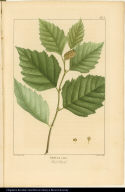 Betula rubra. Red Birch.