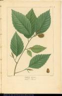Fagus sylvestris. White Beech.