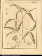 [Santolina and cytifus plants]