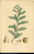 Cupressus Disticha. Cypress.