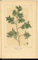 Cupressus Thyoides. White Cedar.