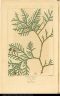 Thuia Occidentalis. Arbor Vitae. or White Cedar.