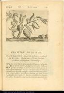 [Manioc plant?]