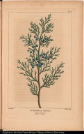 Juniperus Virginiana. Red Cedar.