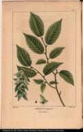 Carpinus Virginiana. Hornbeam.