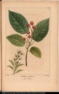 Mespilus Arborea. June Berry.