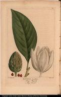 Magnolia Grandiflora. Large Magnolia or Big Laurel.