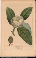 Magnolia Glauca. Small Magnolia or White Bay.