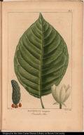 Magnolia Acuminata. Cocumber Tree.