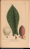 Magnolia Auriculata. Long Leaved Cocumber Tree.