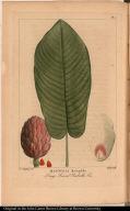 Magnolia Macrophilla. Long Leaved Umbrella Tree.