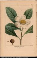 Gordonia Pubescens. Franklinia.