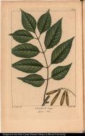 Fraxinus Viridis. Green Ash.