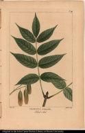 Fraxinus Sambucifolia. Black Ash.