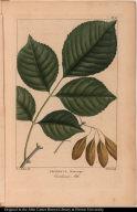 Fraxinus Platicarpa. Carolinian Ash.