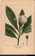 Gordonia Lasyanthus. Loblolly Bay.