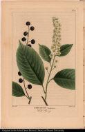 Cerasus Virginiana. Wild Cherry.