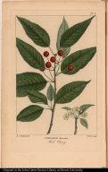 Cerasus Borealis. Red Cherry.