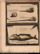 [Narwhal skulls and whale]