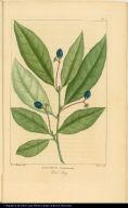 Laurus Caroliniensis. Red Bay.