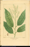 Andromeda Arborea. Sorel Tree.