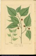 Celtis Occidentalis. American Nettle Tree.