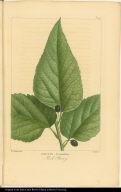 Celtis Crassifolia. Hack Berry.