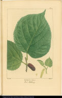 Morus Rubra. Red Mulberry.
