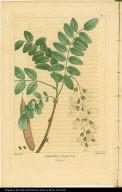 Robinia Pseudo-acacia. Locust.