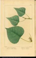 1. Populus Hudsonica. American Black Poplar. 2. Populus Monilifera. Virginian Poplar.