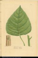 Populus Angulata. Carolinian Poplar.