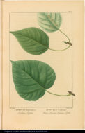 1. Populus Balsamifera. Balsam Poplar. 2. Populus Candicans. Heart Leaved Balsam Poplar.