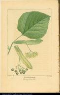 Tilia Pubescens. Downy Lime Tree.