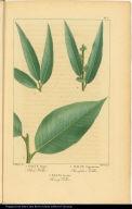 1. Salix Nigra. Black Willow. 2. Salix Ligustrina. Champlain Willow. 3. Salix Lucida. Shining Willow.