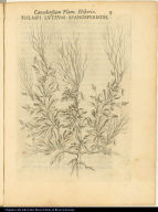 Thlaspi Luteum Spanospermon.