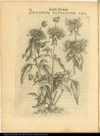 Origanum Fistulosum Can.