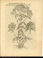 Valeriana Urticaefolia Flore Alb.